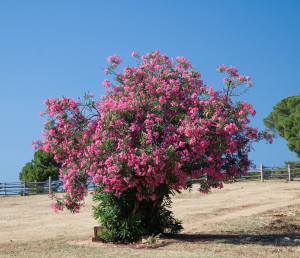 Oleander_stablo