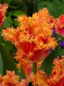 Tulipan Real Time J11