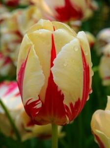 Tulipan World Expression J11