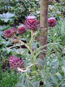 Blooming_verge_plant