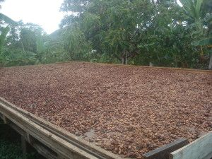 Cacao_Beans_Drying