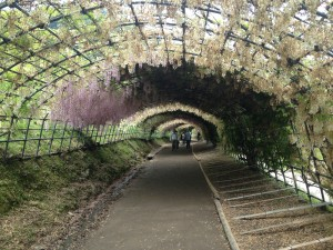 Wisteria_Tunnel_in_Kawachi_Wisteria_Garden_20150509-3