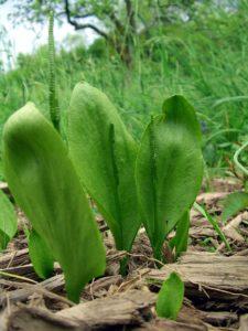 Ophioglossum_vulgatum_Saarland_02