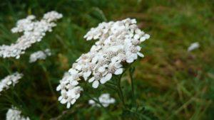 achillea-millefolium-848741_1280