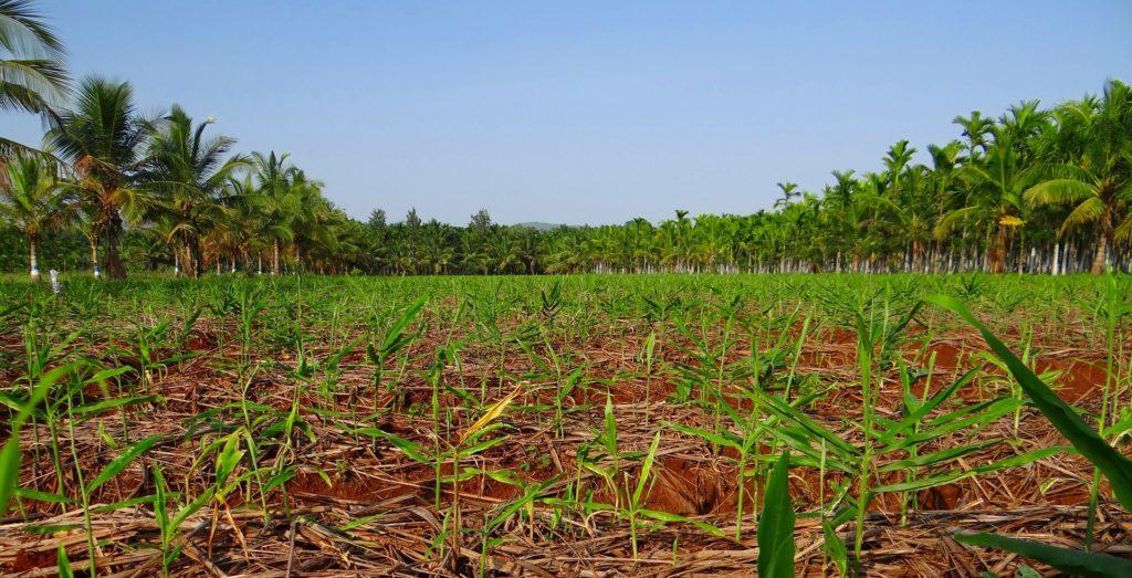 plantation-343897_1920