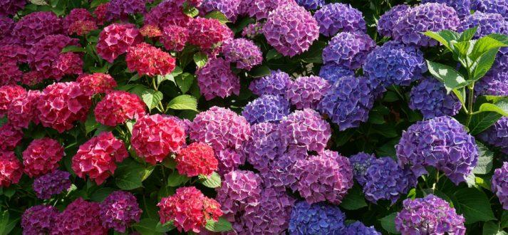 Hortensja Uprawa W Pojemniku Cebulki Kwiatowe