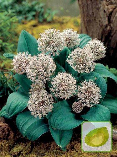 Czosnek (Allium) 'Karataviense'