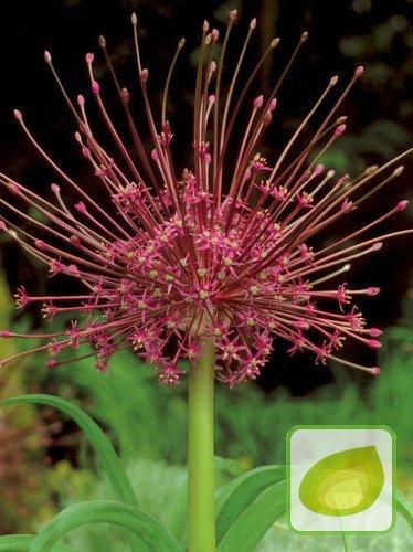Czosnek (Allium) 'Schubertii'