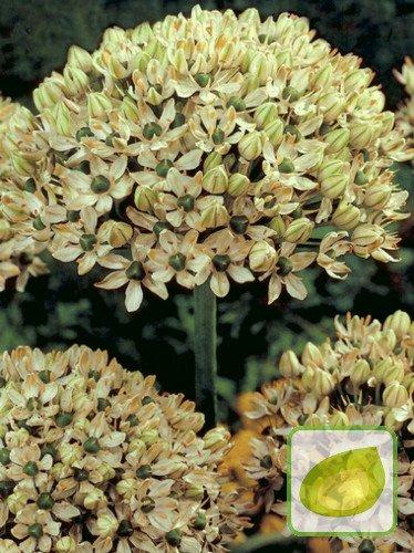 Czosnek (Allium nigrum)