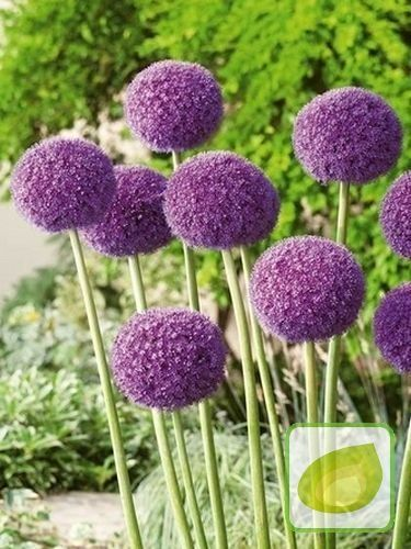 https://www.cebule.pl/pol_pl_Czosnek-Allium-Giganteum-140_1.jpg